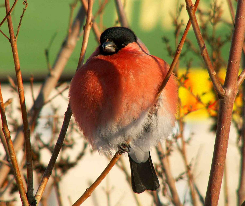 владельцы снегири птицы картинки с названиями нашем северном мегаполисе